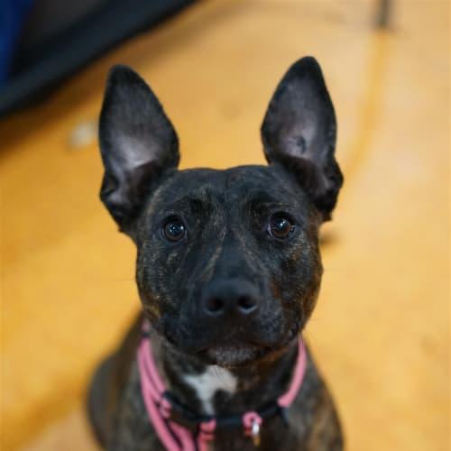 Shae - English Staffordshire Bull Terrier Dog