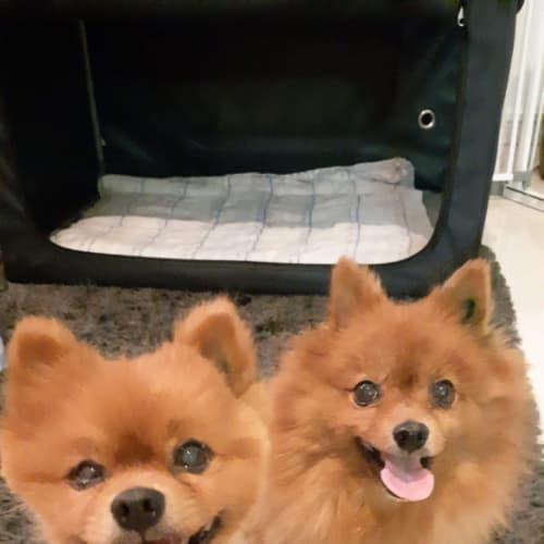 Bonnie & Clyde  - Pomeranian Dog
