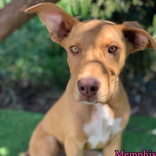 Memphis - Rhodesian Ridgeback Dog