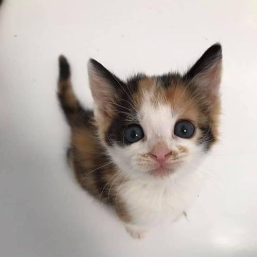 Feta  - Domestic Short Hair Cat