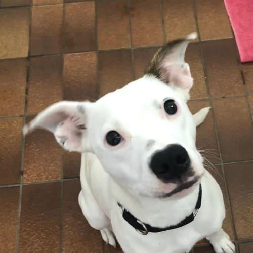 Cleo - Staffy x Heeler Dog