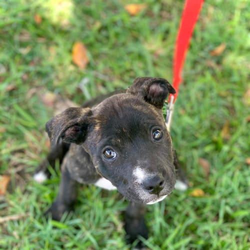 Eleanor - Staffordshire Bull Terrier x American Staffordshire Bull Terrier Dog