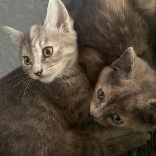 Chacha and Peaches - Domestic Short Hair Cat