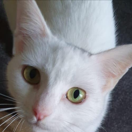 Luna (Located in Kew) - Domestic Short Hair Cat