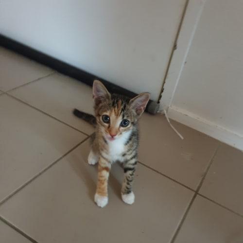 Springer - Domestic Short Hair Cat