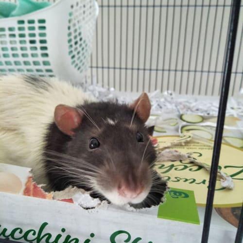 Templeton -  Rat