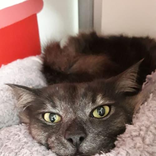 Dorian Grey - Domestic Medium Hair Cat