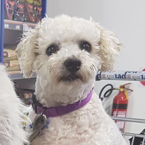Scotty - Bichon Frise Dog