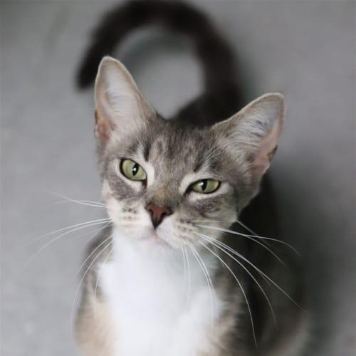 Bacardi - Domestic Short Hair x Oriental Cat