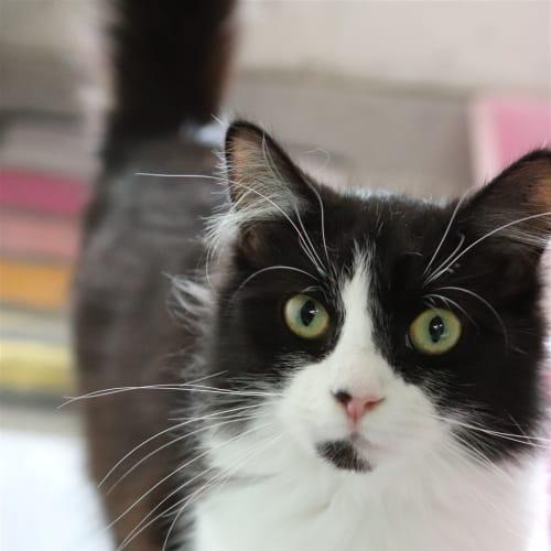 Pixel - Domestic Medium Hair Cat