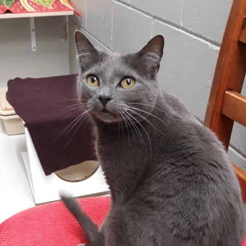 Smeagol - Domestic Short Hair Cat