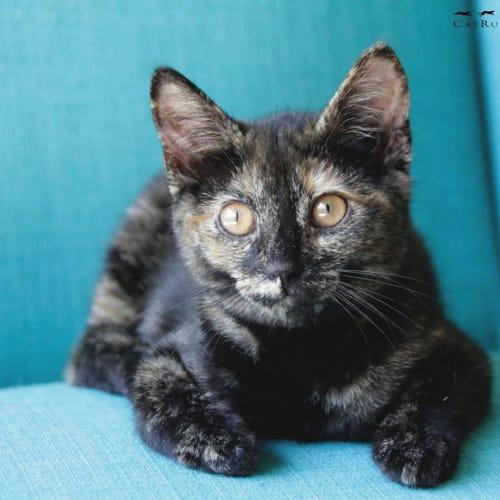 1548 - SoCute - Domestic Short Hair Cat