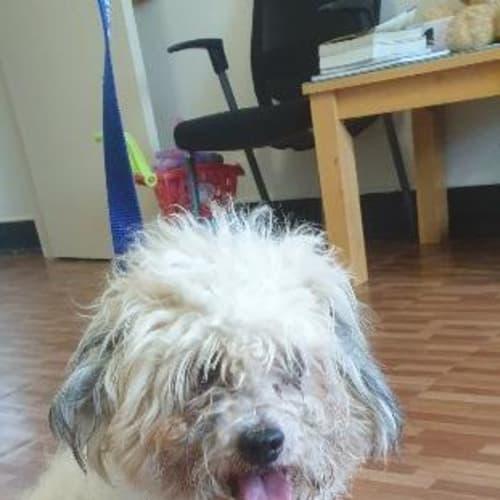 Prancer - Maltese Dog