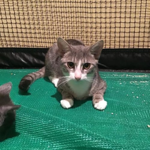 Ollie - Domestic Long Hair Cat