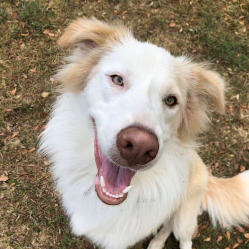 Teddy Bear - Border Collie Dog