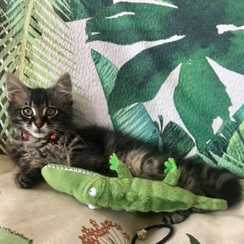 Tito - Domestic Medium Hair Cat