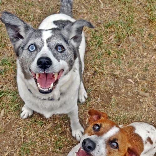 Merv & Siggy - Jack Russell Terrier Dog