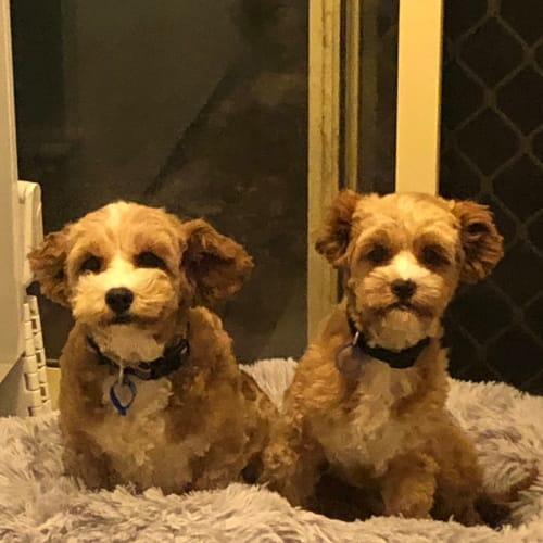 Koko and Kimi (The Teddy Bear Sisters) - Cavalier King Charles Spaniel x Maltese Dog
