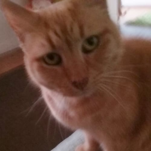 Sissy - Domestic Short Hair Cat