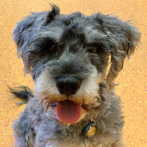 Scooter - Schnauzer, Miniature Dog