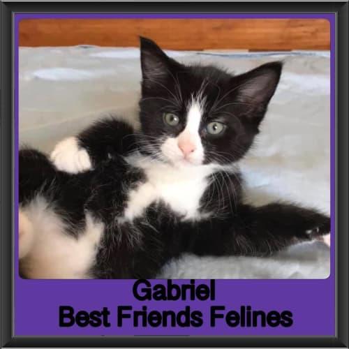 Gabriel - Domestic Medium Hair Cat