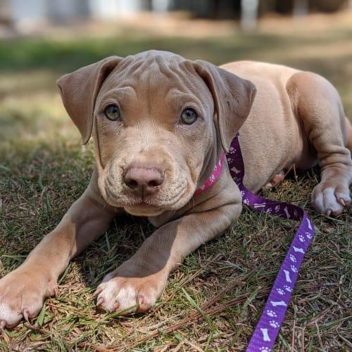 0006 (Name pending)  - Rhodesian Ridgeback x American Staffordshire Bull Terrier Dog