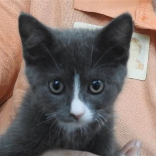 Blaze - Ragdoll Cat