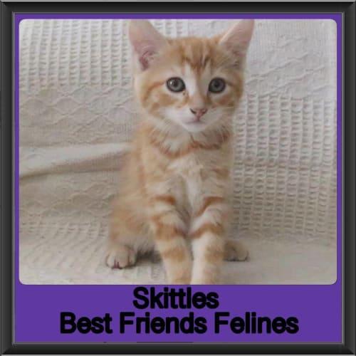 Skittles - Manx Cat