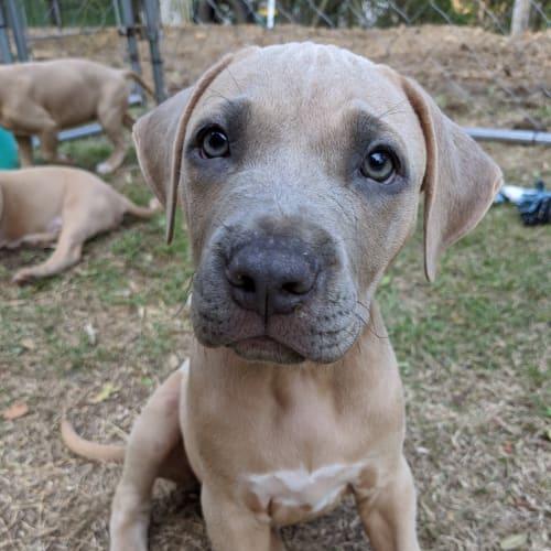 0009 Female (name pending)  - Rhodesian Ridgeback x American Staffordshire Bull Terrier Dog