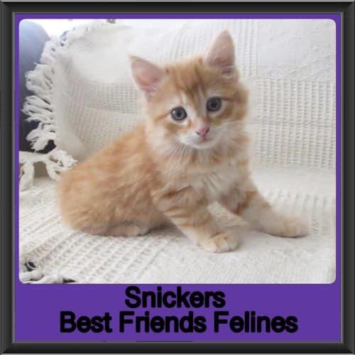 Snickers - Manx Cat