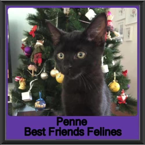 Penne - Domestic Short Hair Cat