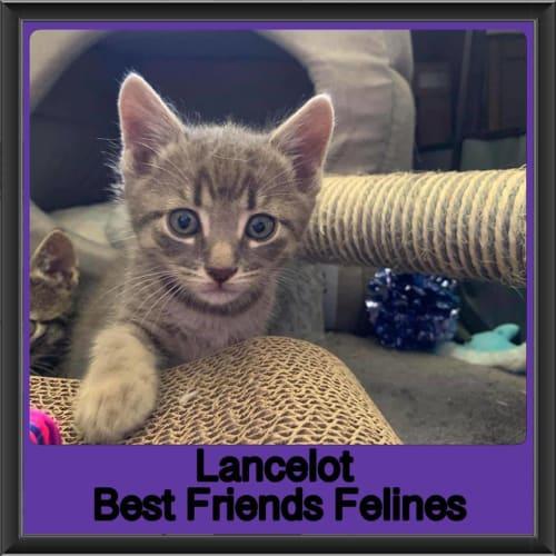 Lancelot - Domestic Short Hair Cat