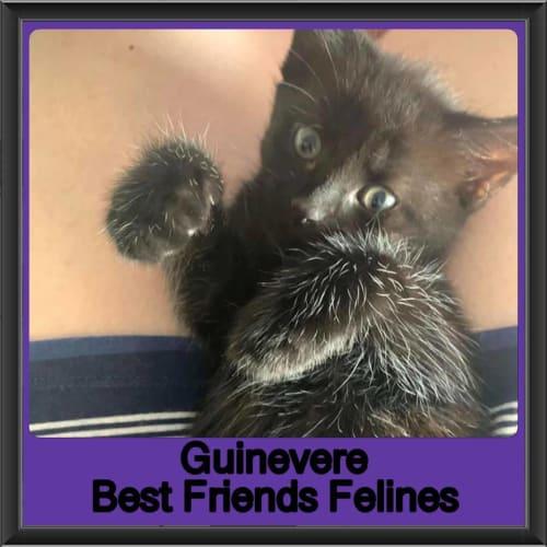 Guinevere - Domestic Short Hair Cat