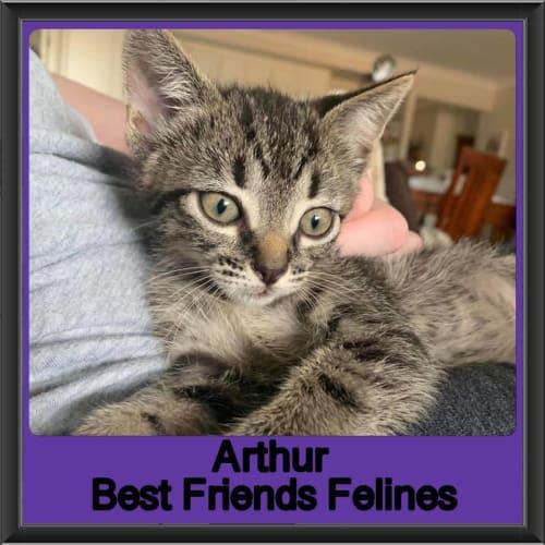 Arthur - Domestic Short Hair Cat