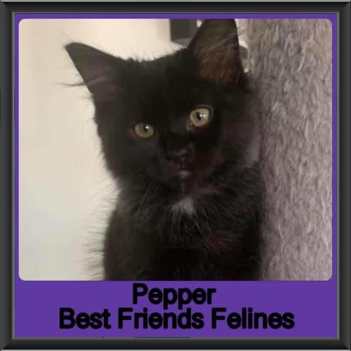 Pepper - Domestic Medium Hair Cat