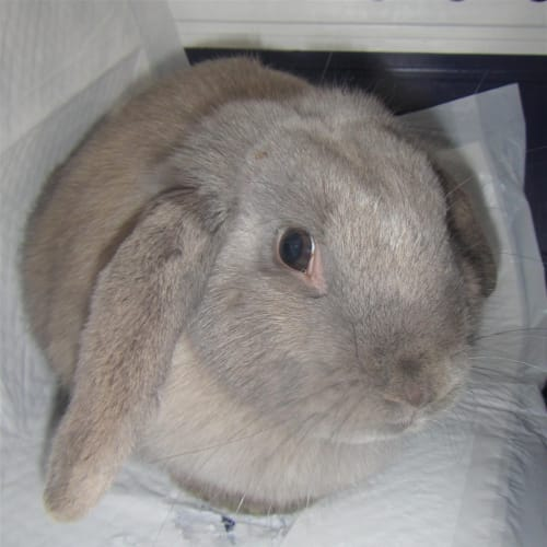 Daphne - Domestic Rabbit