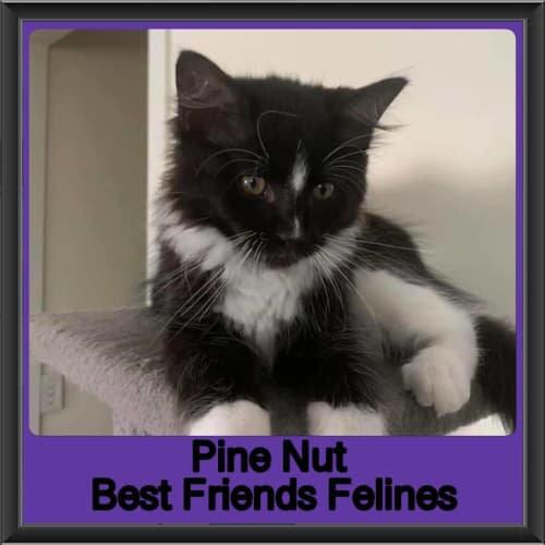 Pine Nut - Domestic Medium Hair Cat