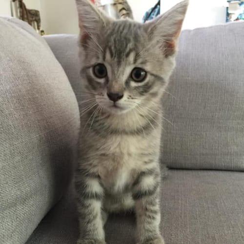Clove - Domestic Short Hair Cat
