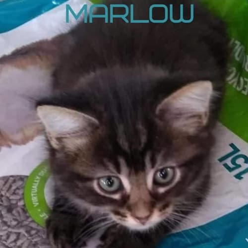 Marlow - Domestic Long Hair Cat