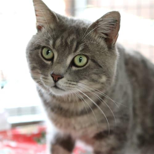 Jerry - Domestic Short Hair Cat