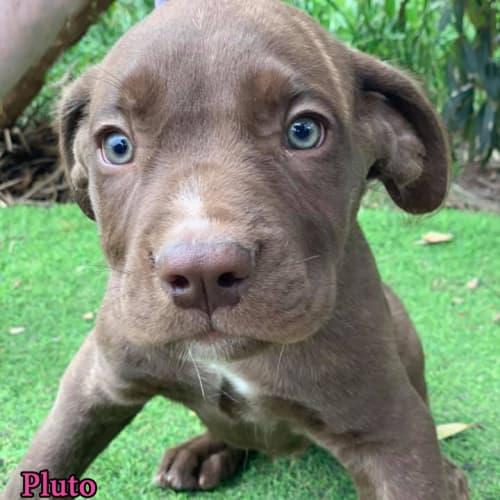 Pluto - Mastiff Dog