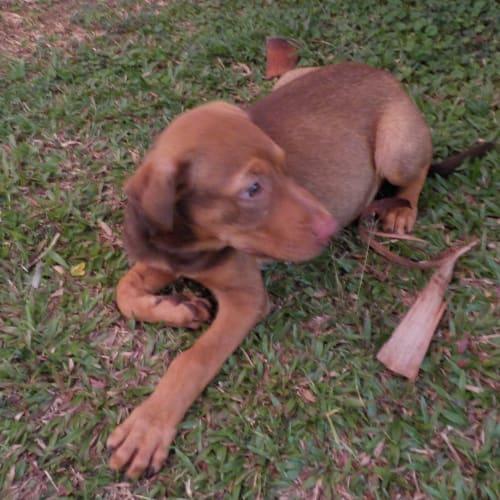 Ryder - Kelpie x Mastiff Dog