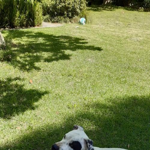 Kenny - Staffy Dog