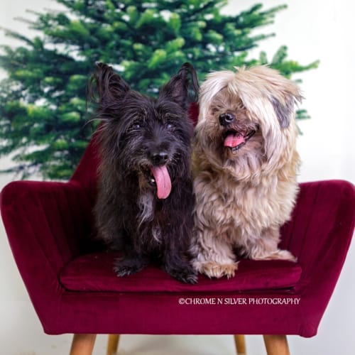 Dakota and Cooper  - Scottish Terrier Dog