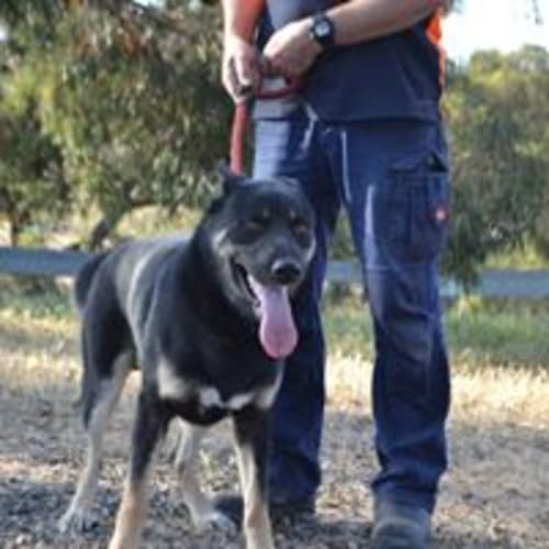 Bravo - German Shepherd Dog