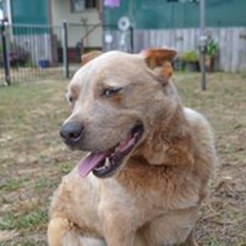 Kiro - Red Heeler Dog