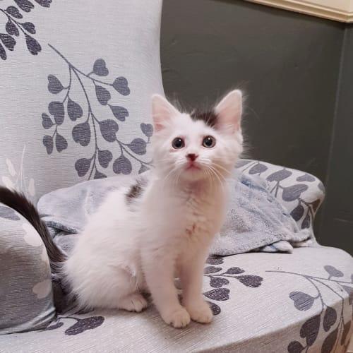 Sprite - Domestic Medium Hair Cat