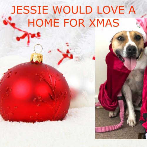 Jessie  - American Staffordshire Terrier Dog