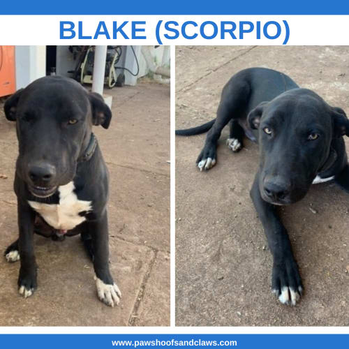 Blake (Scorpio) - Mixed Breed Dog
