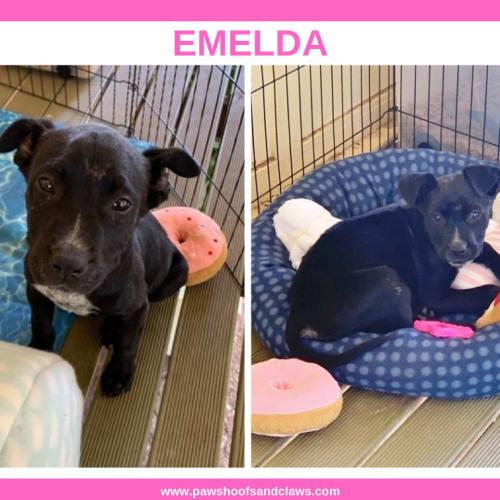 Emelda - Staffy Dog